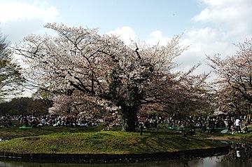 池の中の桜